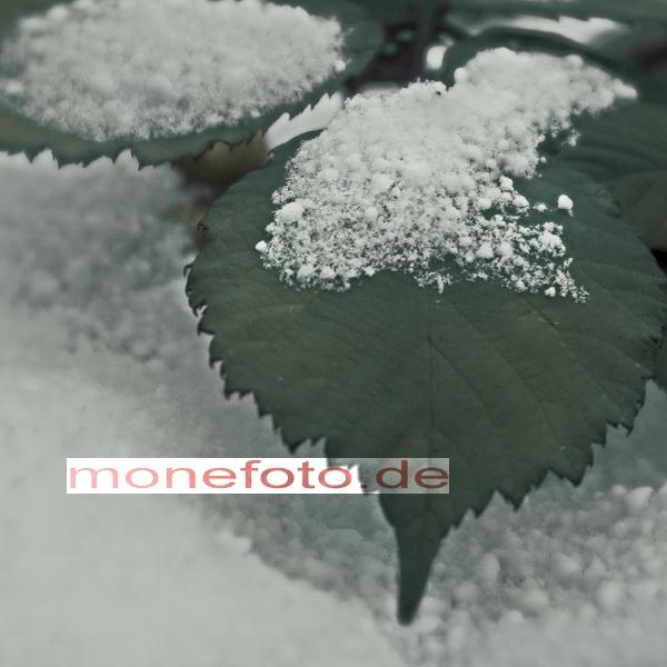 Brombeerblätter im Schnee