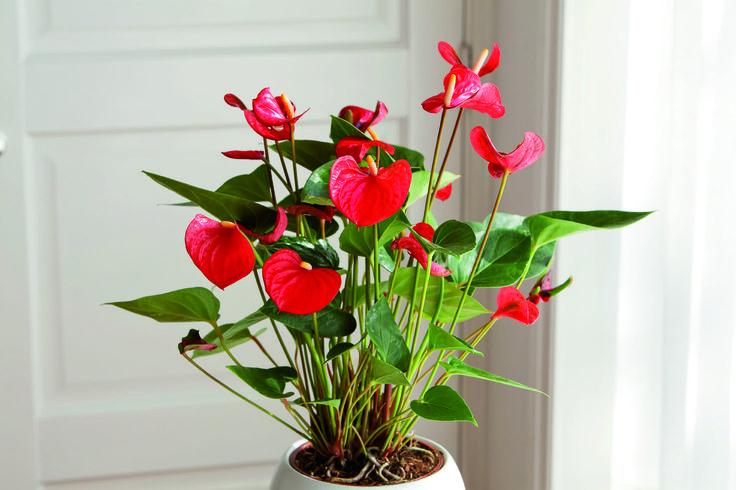 Anthurium: Je bent een exotische schoonheid