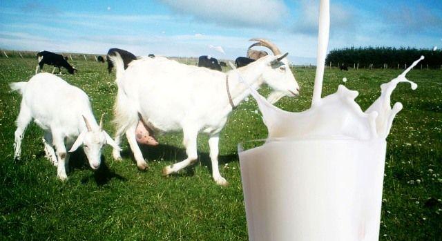 Manfaat Susu Kambing Untuk Kesehatan Tubuh Yang Wajib Anda Ketahui | Harian Anda