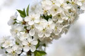Znalezione obrazy dla zapytania białe kwiaty