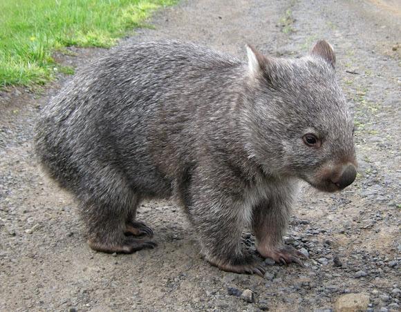 Common Wombat by lori.tas