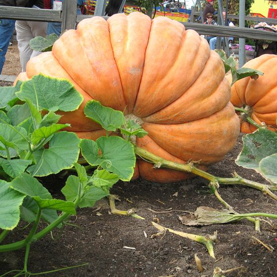 Pumpkin World's Largest - Growit Seeds  this pumpkin strain holds the world record at 911kg!