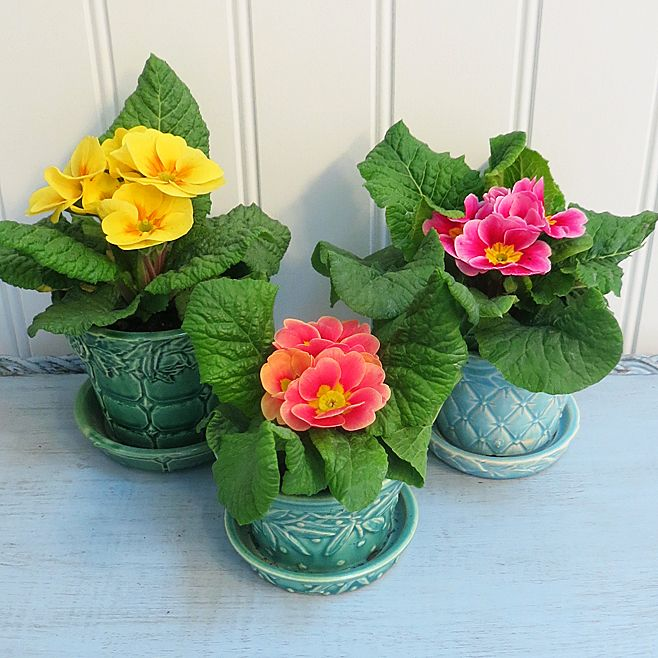 Primrose In McCoy Flower Pots