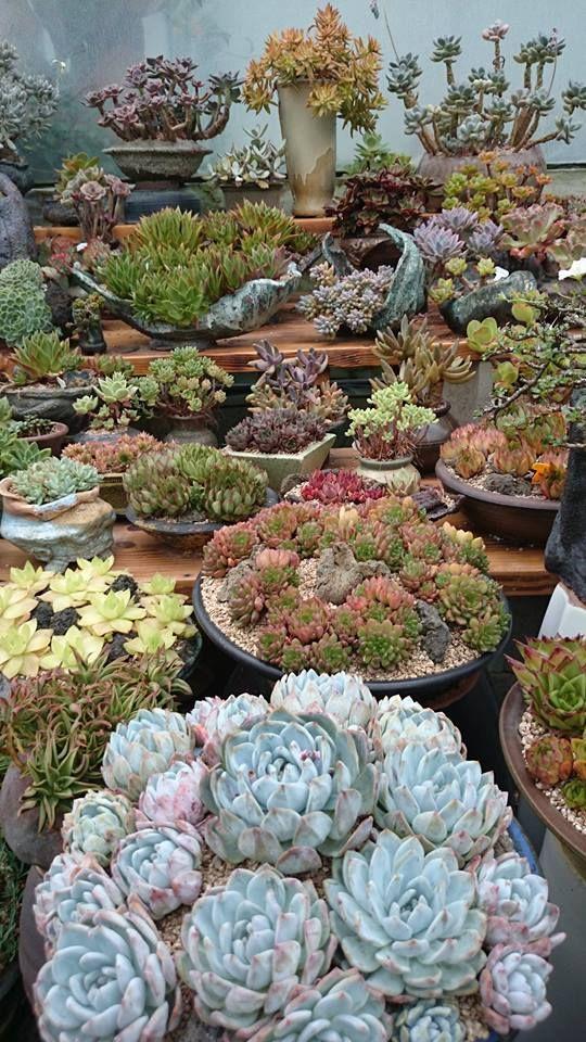 Now this is a collection. Echeverias, sempervivum...