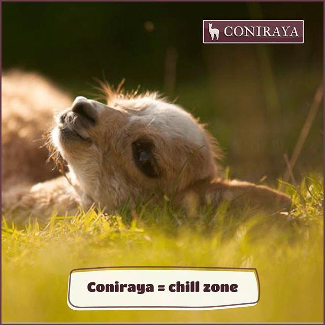 Don't you believe! Come to #coniraya! :) #alpaca #beauty #cute #chillzone #chilling #goodday #instalike #alpakino