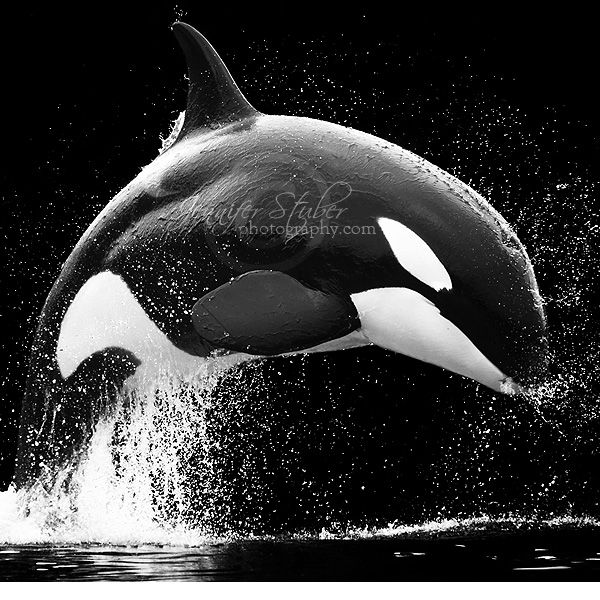 ♥: Killers Whales, Beautiful Animal, White Photography, Orcas, Black And White,  Grampus, Black Bows,  Killers, Beautiful Creatures