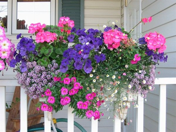 Pink geranium window box pink seed geraniums blue picobella petunias purple alyssum spanish - Growing petunias pots balconies porches ...