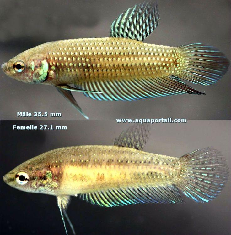 Betta mahachaiensis, mâle et femelle de livrée jaune