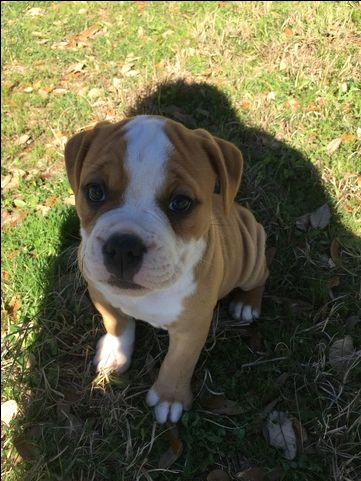 Litter of 9 Olde English Bulldogge puppies for sale in CANYON LAKE, TX. ADN-27231 on PuppyFinder.com Gender: Female. Age: 14 Weeks Old