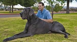 Worlds Tallest Dog Dies. Zeus was a Great Dane who held the Guinness World Record for being the world's tallest dog. He was 5 years old