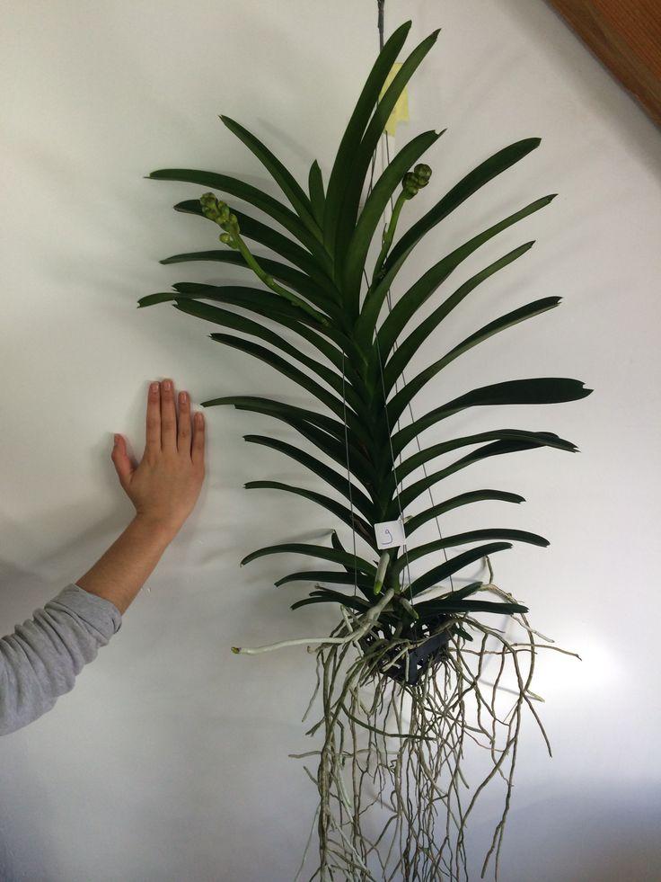 17 best images about orchidees vanda on pinterest vanda. Black Bedroom Furniture Sets. Home Design Ideas