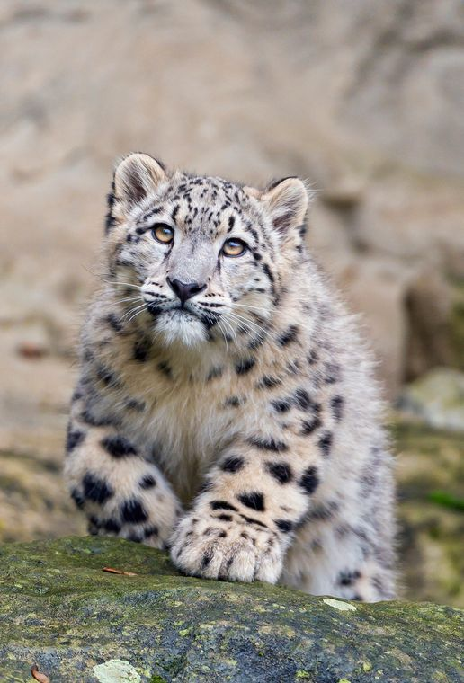 Approaching & Posing by Tambako the Jaguar