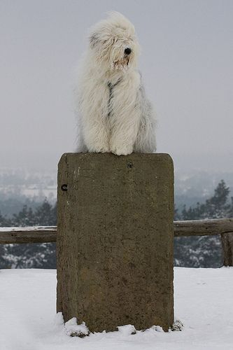 Winterview - Old English Sheepdog