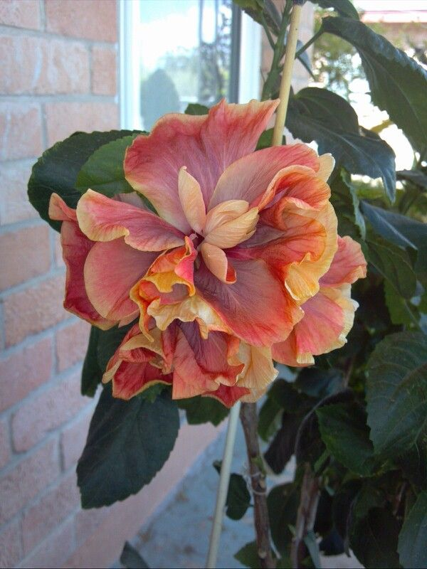 Hibiscus-very unusual color mix.