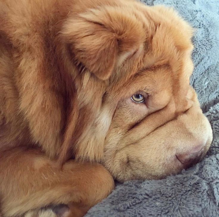 This long haired Shar-Pei puppy is the absolute cutest, sweetest thing.