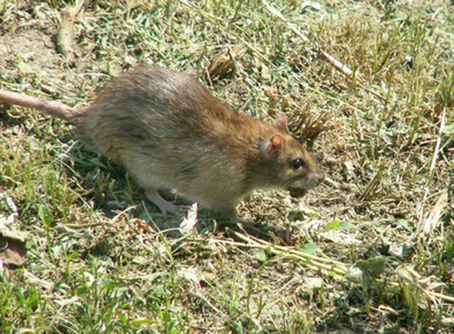 If you have a rat infestation and you are looking for an alternative to poison, but want to be able to make multiple catches, then a multi-catch rat trap is the way to go....