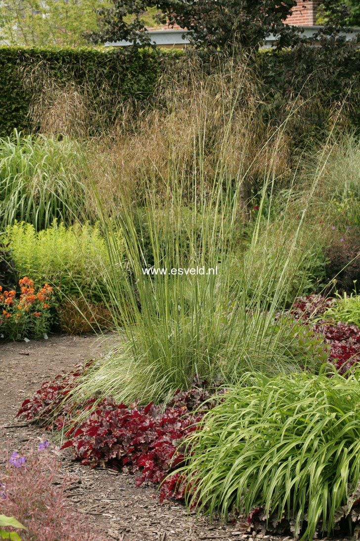 Stipa gigantea ornamental grass design therese for Tall grass landscaping