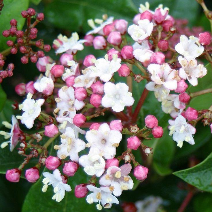 Viburnum tinus 'Gwenllian' - Laurier tin blanc rosé - Viorne bicolore