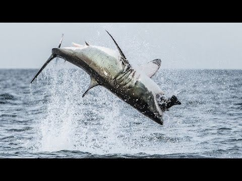 Flying Shark: Great White Breaches Off South Africa's Coast - YouTube