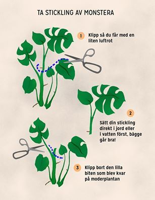 how to take a cutting monstera