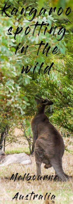 Best tour to see wild koalas and kangaroos in Melbourne. If you a visitor to Australia, or an Aussie who loves animals, I'd highly recommend this tour.