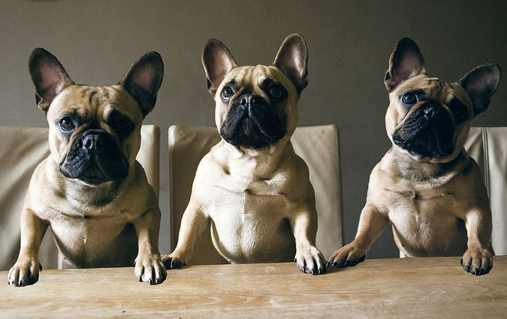 French Bulldog Triplets