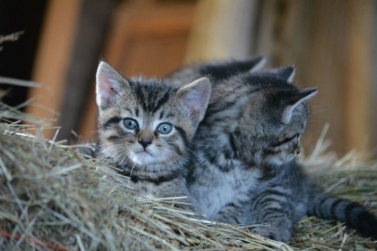 Nadeau kittens
