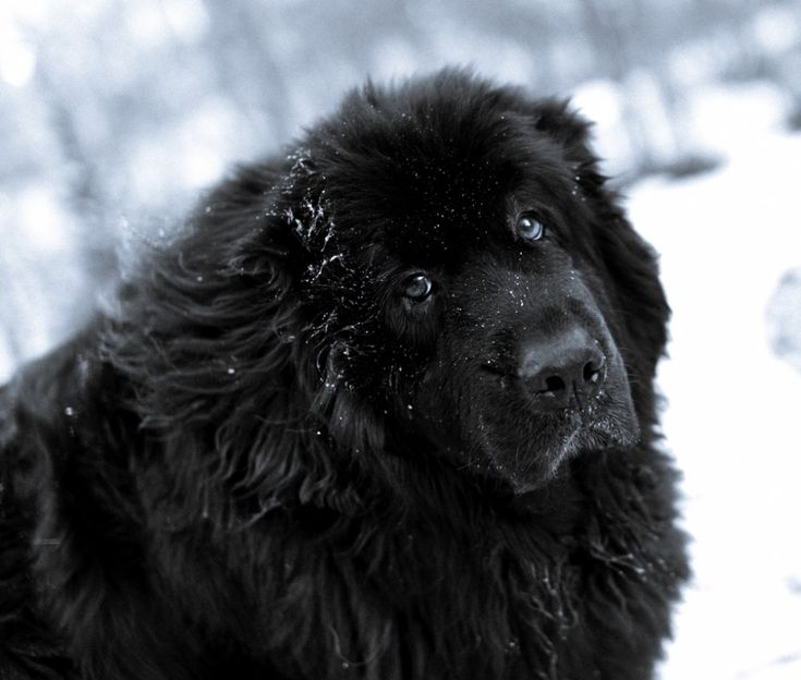 Most Inspiring Newfoundland Chubby Adorable Dog - 6c71e0212b3565dca2a82ef4014627cb--newfoundland-puppies-puppy-dog-eyes  Pic_706618  .jpg