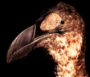 Great Auk | The Zoological Museum contains an extensive collection of animals from Ireland and abroad from a total collection of approximately 25,000  specimens. | Re-Opens to the public in June 2016 | Trinity College Dublin | Wildlife | Ireland