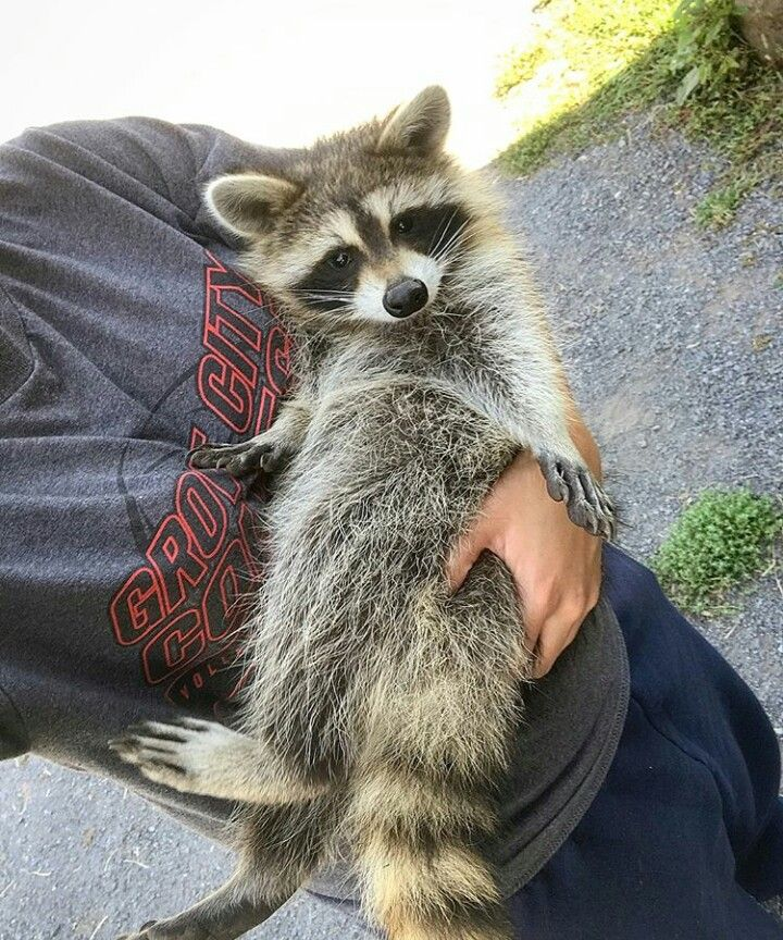 Amazing Pet raccoon, Cute animals, Unique animals