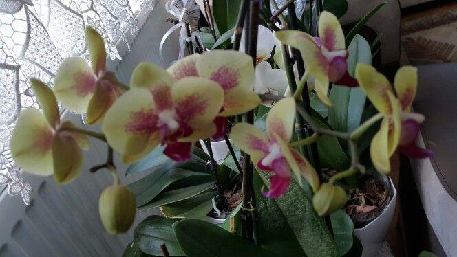 Orkidem çicek açtı (oğlumun hediyesi) #orchid #orqudea