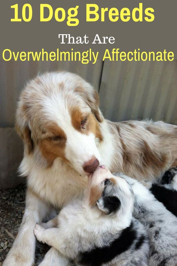 10 Dog Breeds That Are Overwhelmingly Affectionate Top Dog