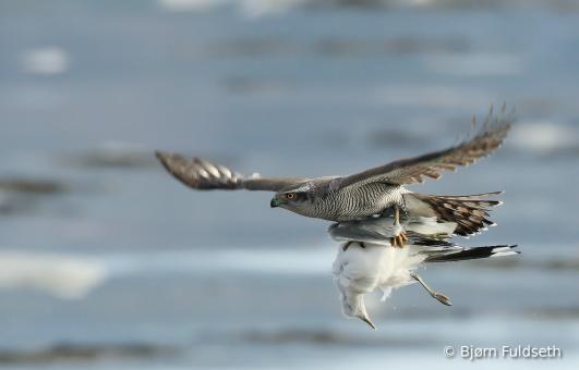 Northern Goshawk (Accipiter gentilis) videos, photos and sound recordings   the Internet Bird Collection   HBW Alive