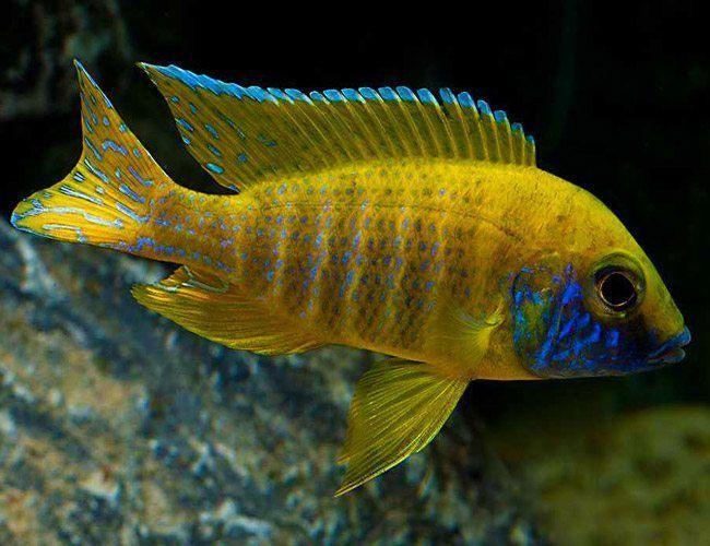 Benga Sunshine Peacock Cichlid Arizona Aquatic Gardens In 2020 African Cichlid Aquarium Cichlids Cichlid Aquarium
