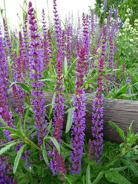 File:Woodland sage-Salvia nemorosa.jpg