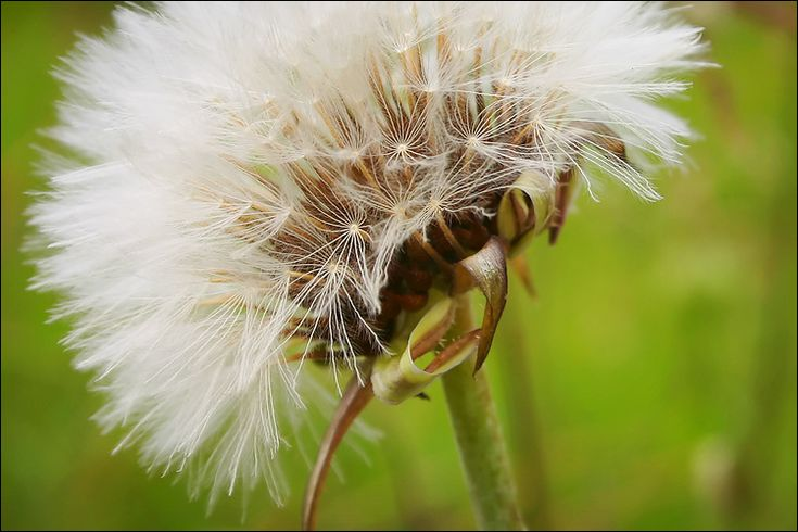 dandelion || canon 300d/kit lens | 1/125s | f10 | ISO 100 / Daily Dose of Imagery