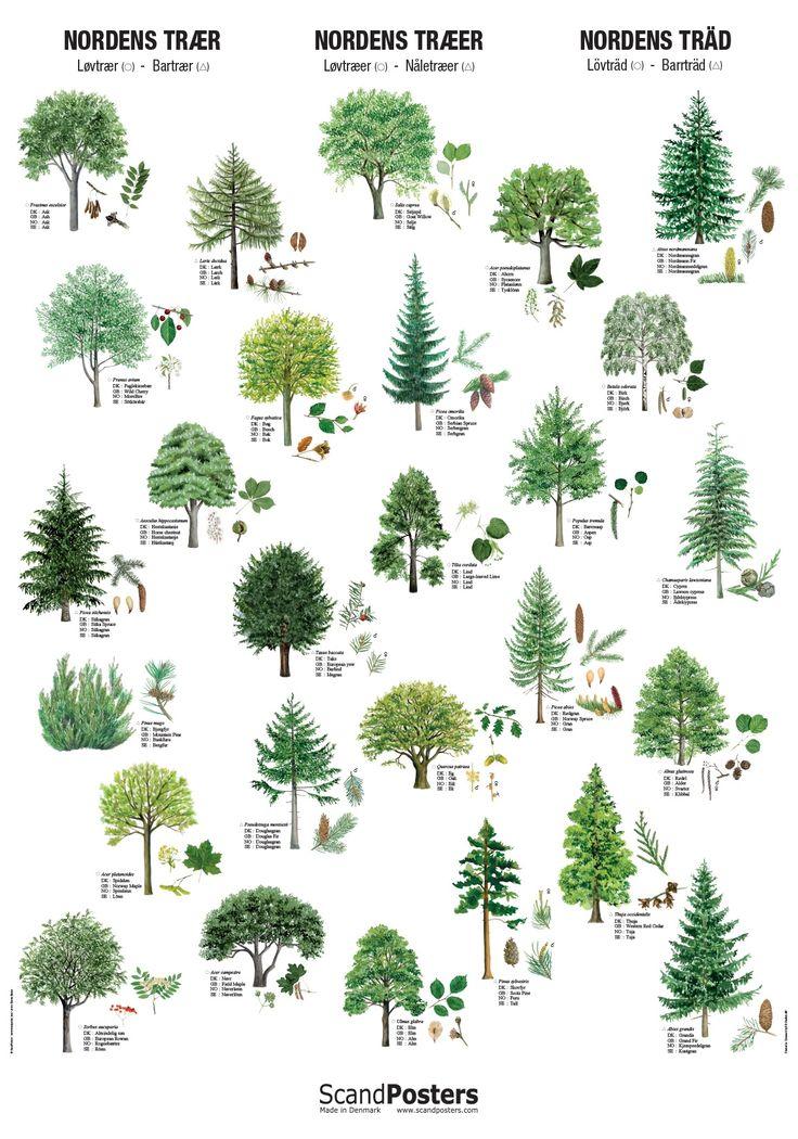 Plakat med nordens træer | Plakat med løv- og nåletræer