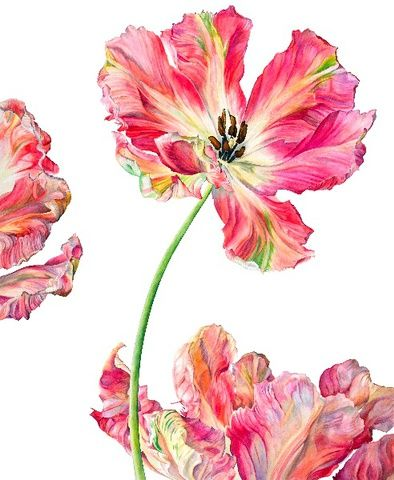 Rosie Sanders PARROT TULIP FANTASY Signed Watercolour on Arches 640gsm paper 49 x 40.1ins (124 x 102cm)