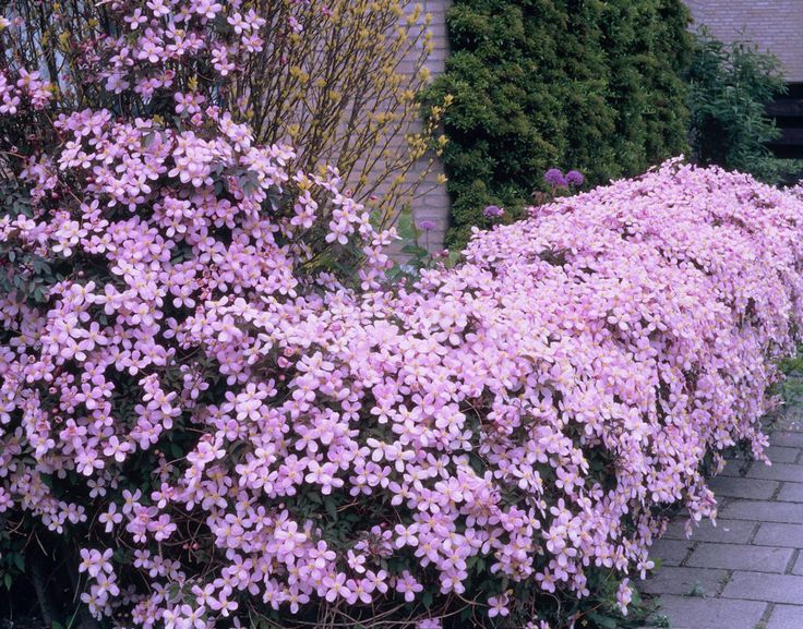 1000 ideas about clematis montana rubens on pinterest. Black Bedroom Furniture Sets. Home Design Ideas