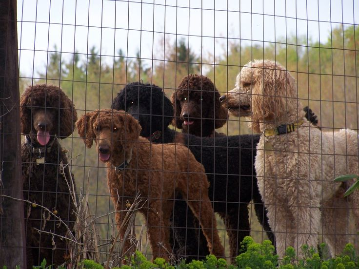 Hillside Standard Poodles... lots of chocolates!