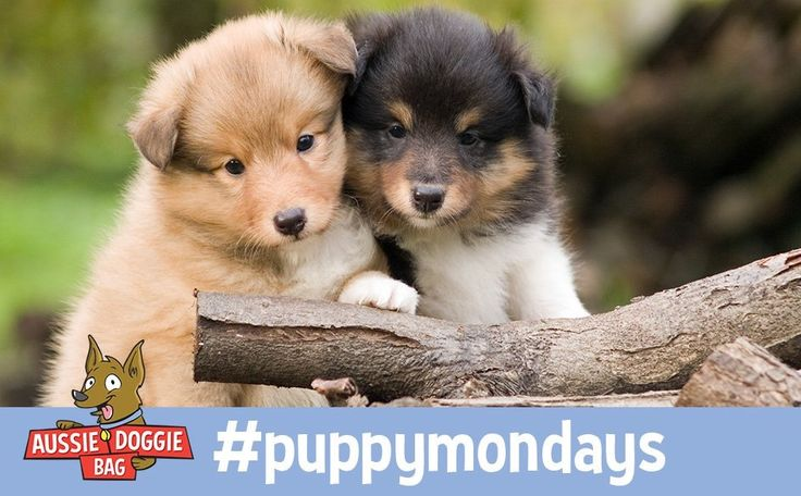 #puppymonday Two cuties wondering what to do with their giant stick!