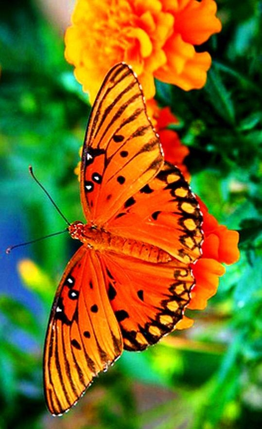#Orange #butterfly detail #photography