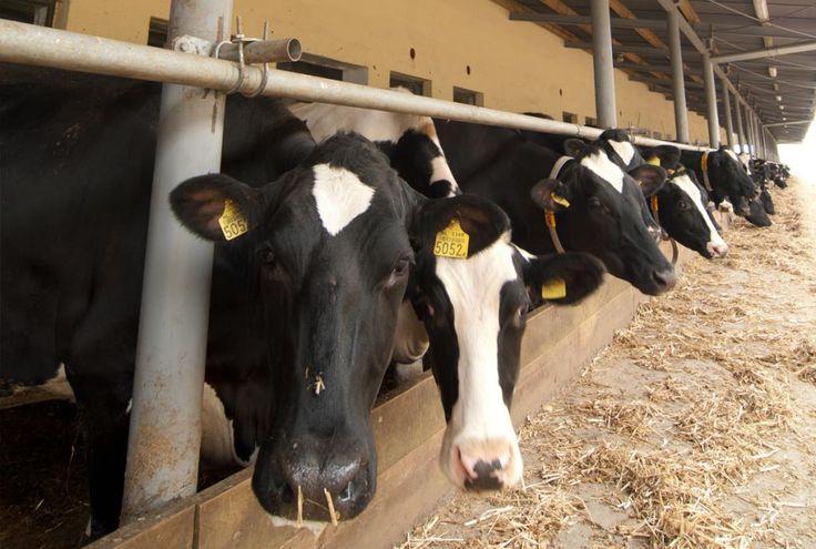 Jaki ciągnik do gospodarstwa mlecznego? - Agrofoto.pl Forum Rolnicze i Galeria Rolnicza