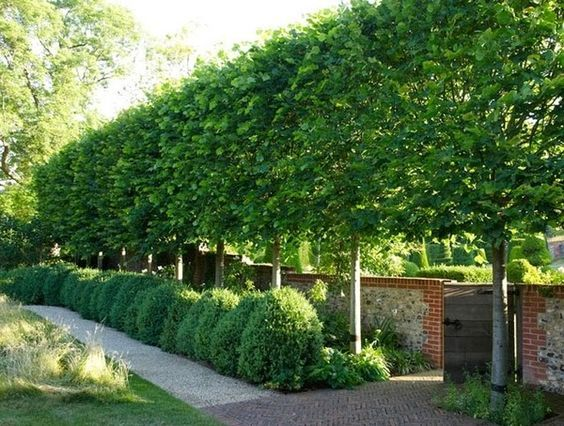 Pleached Hornbeam trees - Pleaching is the weaving branches of multiple trees together for privacy, wind & sound block. Best trees for pleaching are Lindens, Hornbeam (Carpinus betulus), Beech, Apple, Pear, Hawthorn, & Carob. The American Hornbeam (Carpinus Caroliniana) is hardy and holds some of it's leaves during winter to provide a privacy screen year round. Because each tree is trained to have a single stem, there is space below a pleached hedge for other plantings (a hedge on stilts!):