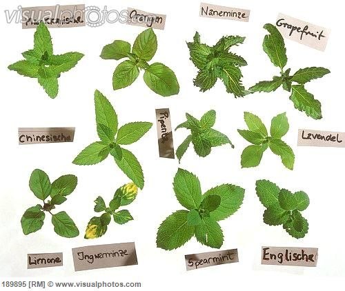 Mint Varieties Mint There Seem To Be Many Species In