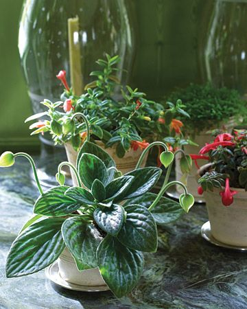 "Green on Green:   Budding Chirita 'Aiko,' red-flowered Columnea 'Boehme' and 'Firebird,' and the moss Selaginella kraussiana grow in pots made by Guy Wolff, who stamps each with ""Cantitoe"" and the year it is thrown. Martha buys silver-plate saucers for a few dollars each at tag sales."