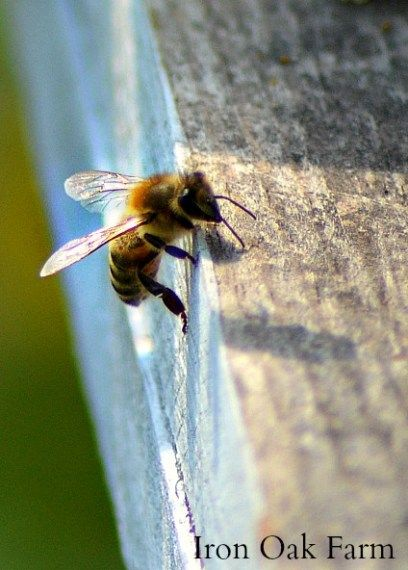 There are a few different ways to purchase a new colony of bees but packages or nucs are two of the most common. In this article I describe what each is, a