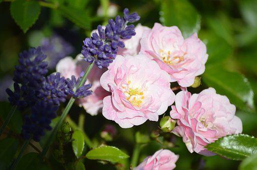 Růžové Růže, Levandulová, Růže