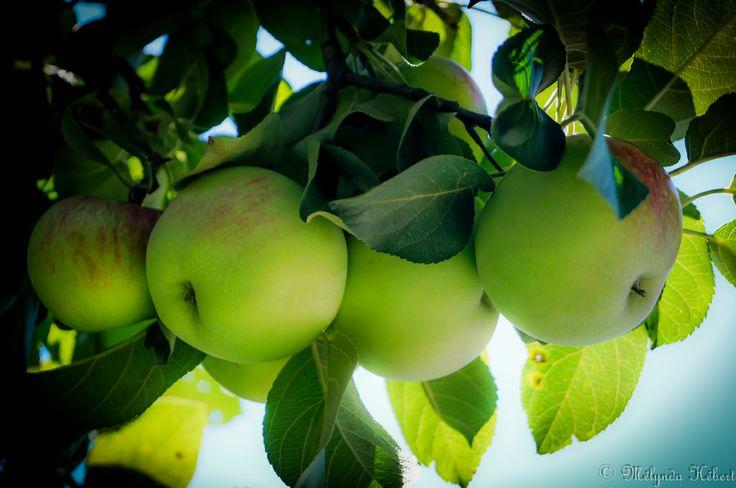 Pomme de l'île