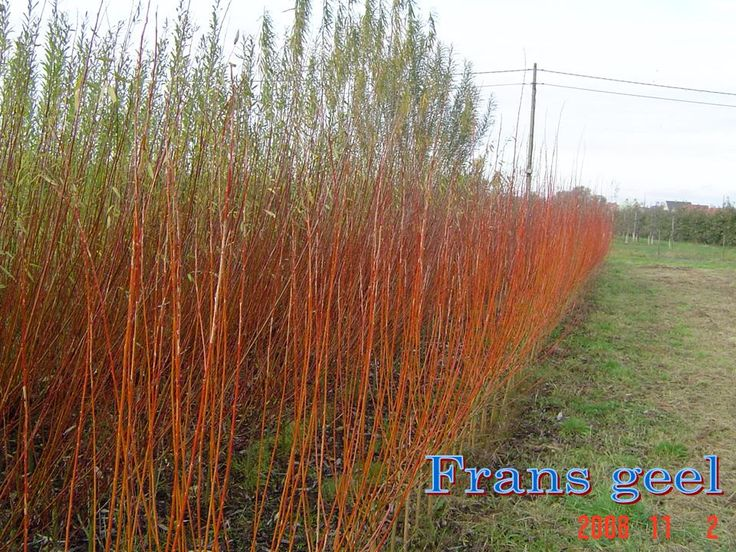 Beautiful photo of Fransgeel Rood Willow growing.